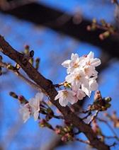 「さくら前線」スタート!見逃せない少し変わったお花見情報 2016の画像